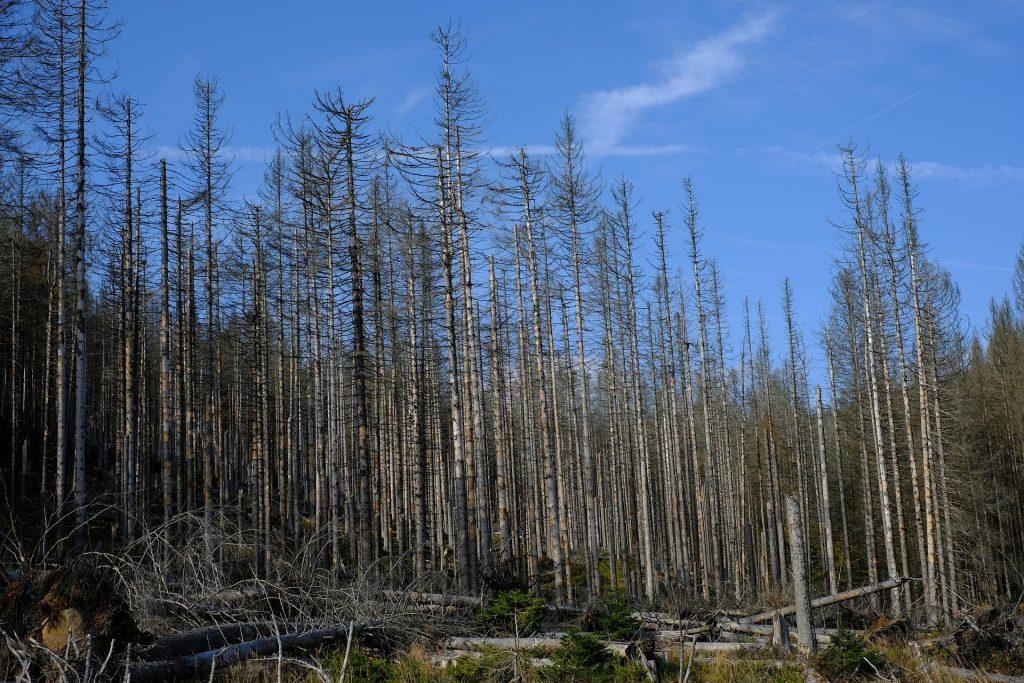 Kranke Bäume eines Fichtenwalds